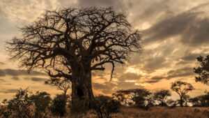 Rooted Baobab tree